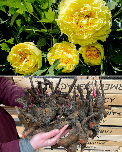 Peony Yellow Crown XXL