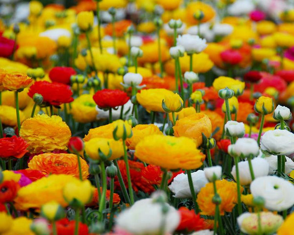 Ranunculus Mixed Colours