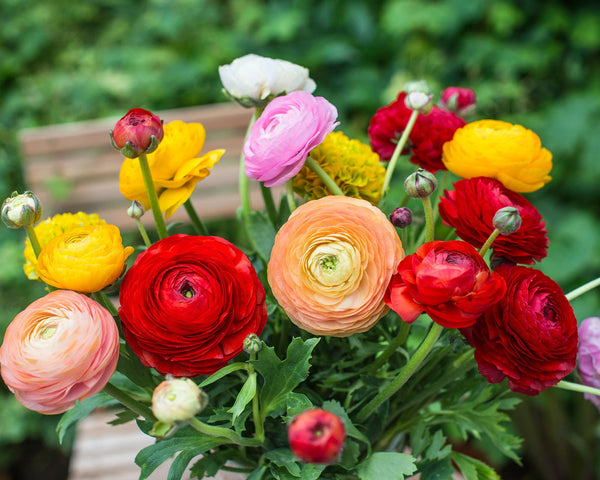 Flower BulbsRanunculus Mixed Colours Bulbs UK - 2