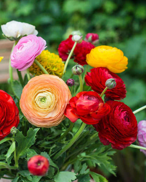 Flower BulbsRanunculus Mixed Colours Bulbs UK - 1