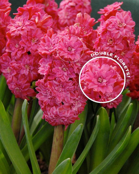 Flower BulbsRed Diamond Bulbs UK - 1