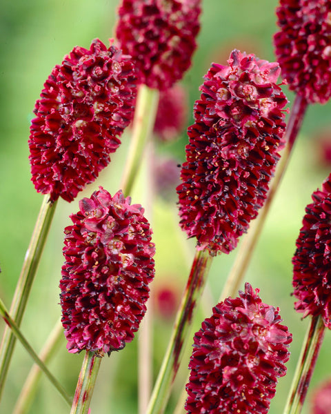 Sanguisorba Proud Mary