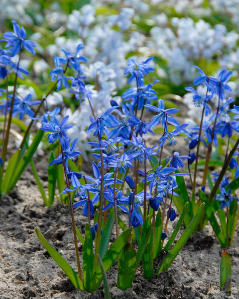 Flower BulbsSiberica (Siberian Squill) Bulbs UK - 1