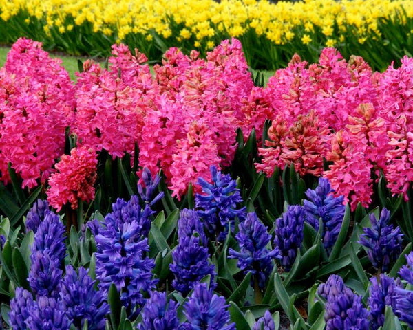 Hyacinth Collection Sgt Pepper's
