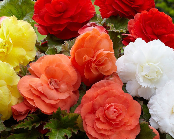 Begonia Superba Mixed Colours