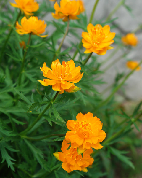 Trollius Orange Globe
