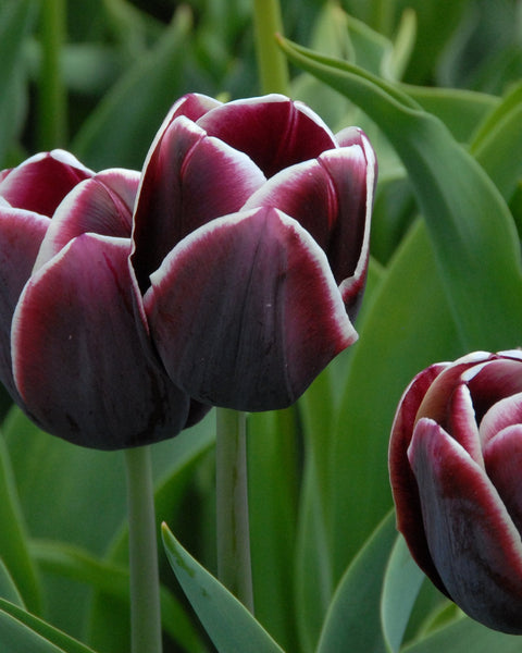 Flower BulbsAlexander Pushkin Bulbs UK - 1
