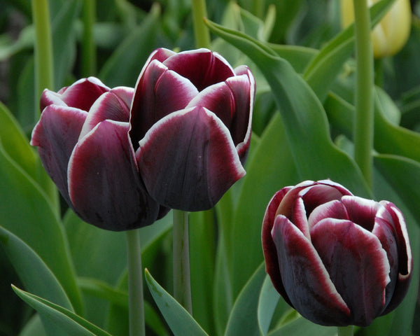 Flower BulbsAlexander Pushkin Bulbs UK - 3