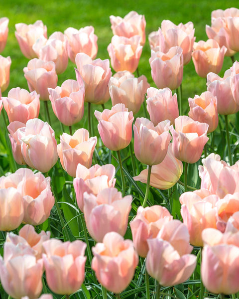 Flower BulbsApricot Beauty Bulbs UK - 1