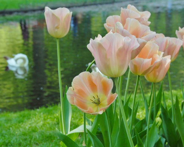 Flower BulbsApricot Beauty Bulbs UK - 2