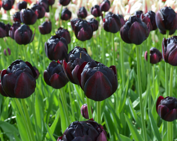 Flower BulbsBlack Hero Bulbs UK - 5