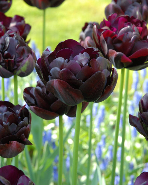 Flower BulbsBlack Hero Bulbs UK - 1