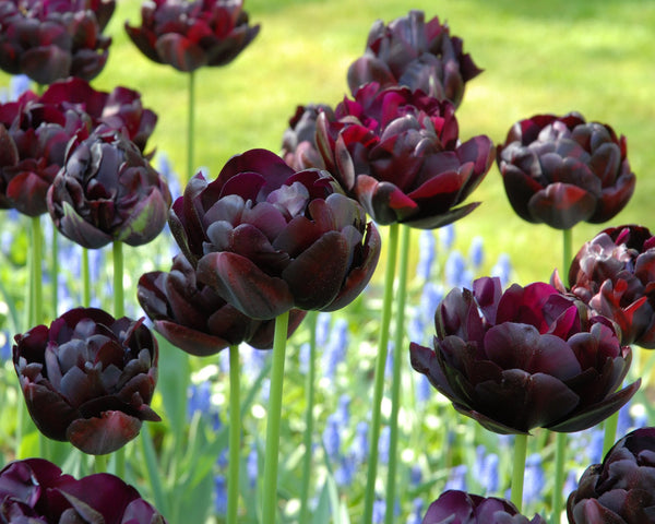 Flower BulbsBlack Hero Bulbs UK - 4