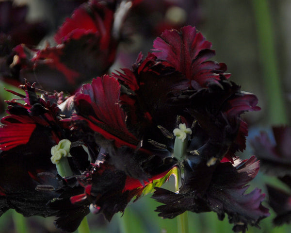 Flower BulbsBlack Parrot Bulbs UK - 5