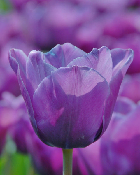 Flower BulbsBlue Aimable Bulbs UK - 1