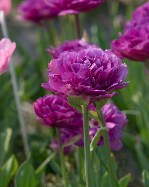 Flower BulbsBlueberry Ice™ Bulbs UK - 1