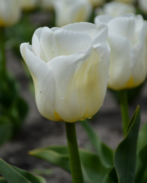 Flower BulbsCalgary™ Bulbs UK - 1