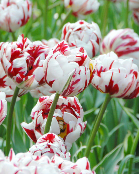 Flower BulbsCarnaval de Nice Bulbs UK - 1
