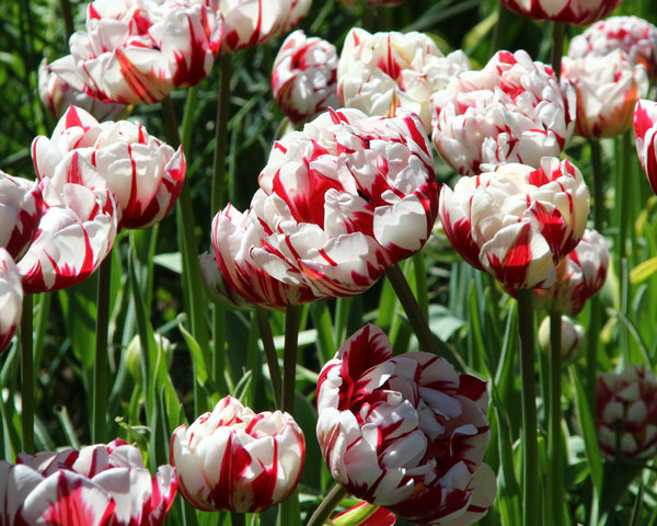 SPRING FLOWERING BULBS Pots//Borders//Hanging Baskets 6 x Tulip Carnaval De Nice