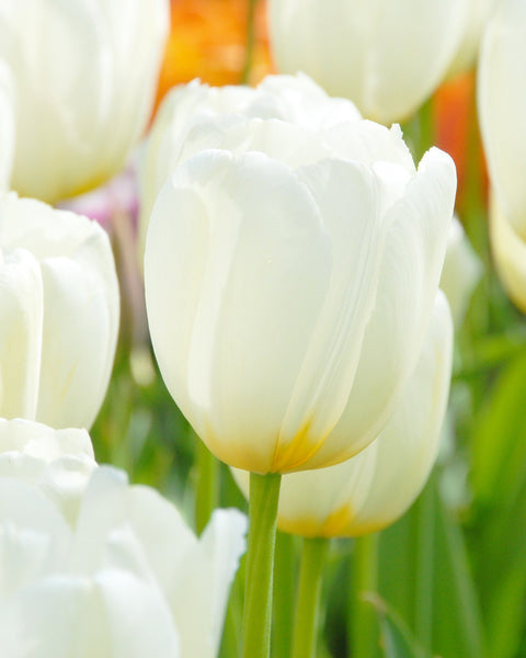 Flower BulbsCatherine Bulbs UK - 1