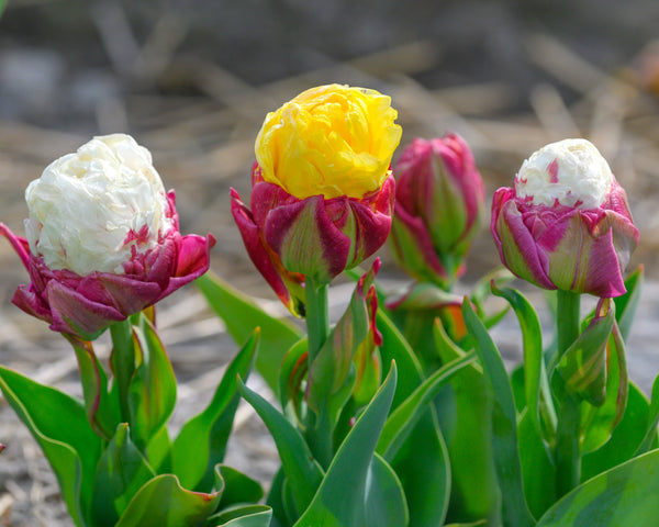 Tulip collection Gelato