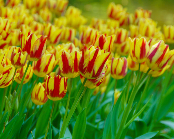 Flower BulbsColour Spectacle™ Bulbs UK - 4