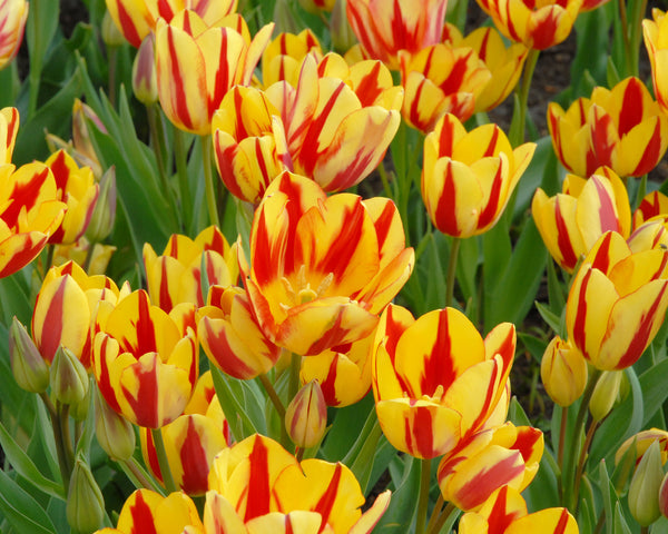 Flower BulbsColour Spectacle™ Bulbs UK - 5