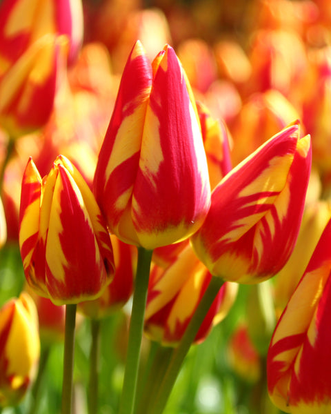 Tulip Colour Spectacle™