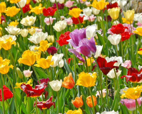 Flower BulbsCrispa Mixed Colours Bulbs UK - 2