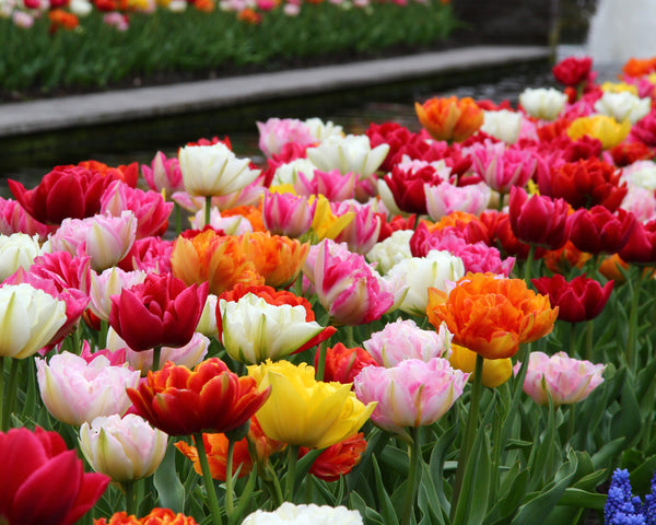 Tulip Double Mixed Colours