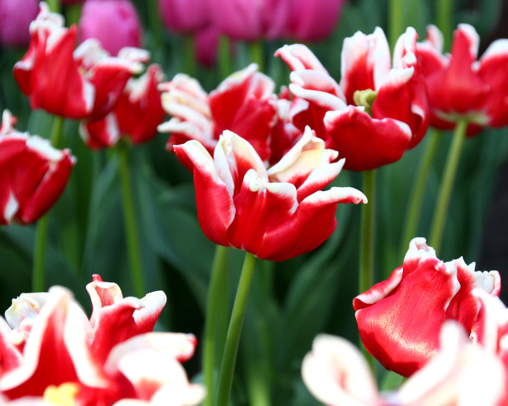 Tulip Elegant Crown
