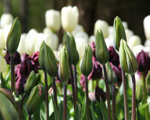 Tulip Evergreen