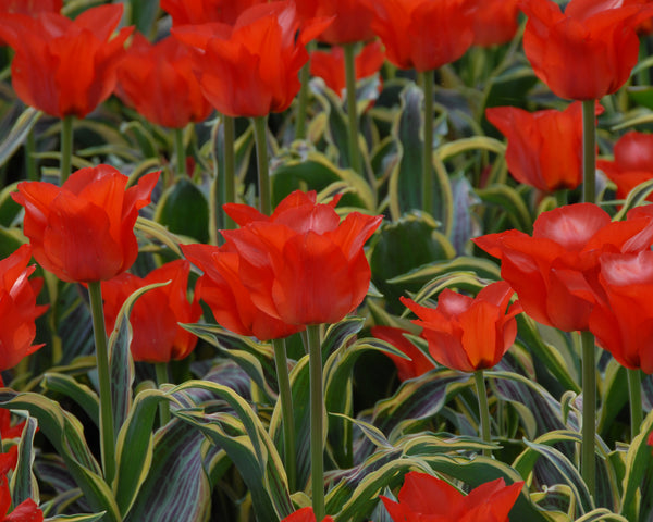 Tulip Fire of Love