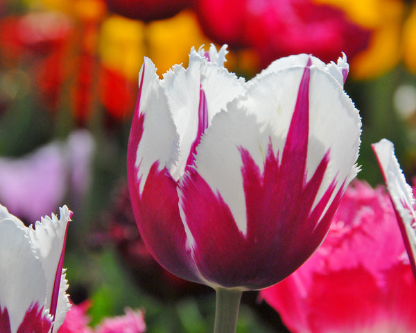 Tulip Flaming Baltic
