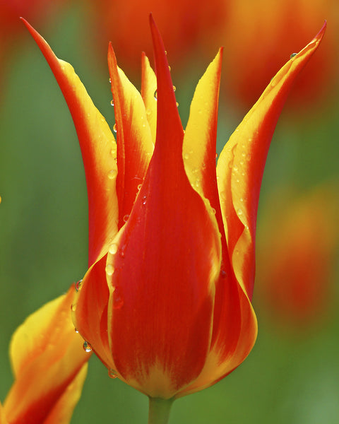 Tulip Fly Away