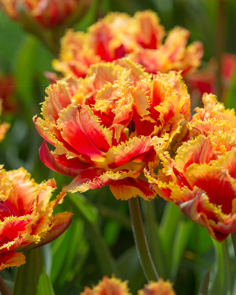 Tulip Gold Dust