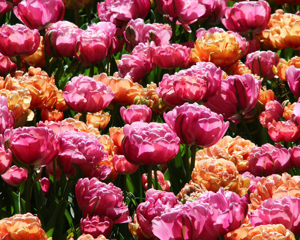 Tulip Collection Gracy's Pride