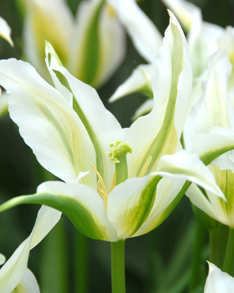 Tulip Green Star