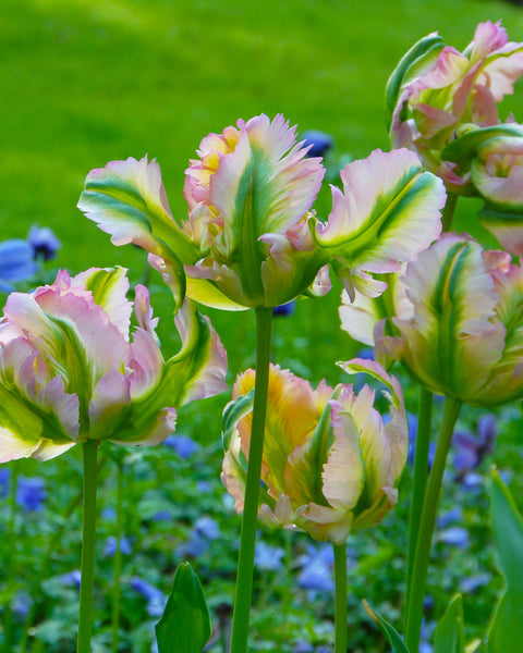 Flower BulbsGreen Wave Bulbs UK - 2