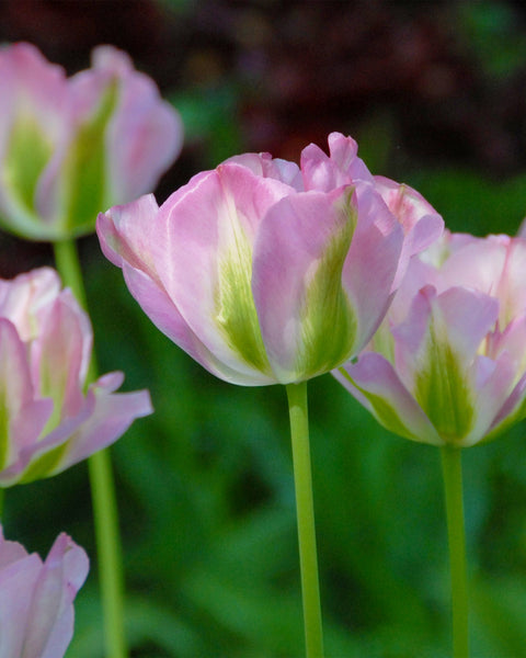 Flower BulbsGreenland Bulbs UK - 1