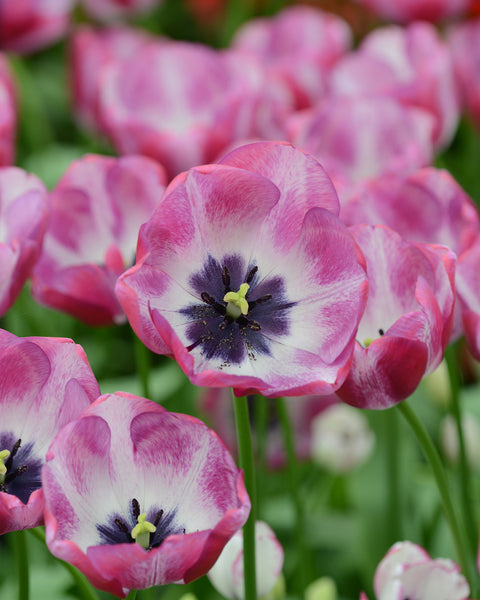 Flower BulbsHotpants™ Bulbs UK - 3
