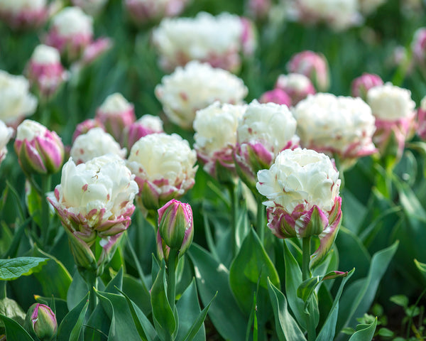 Flower BulbsIce Cream™ Bulbs UK - 2