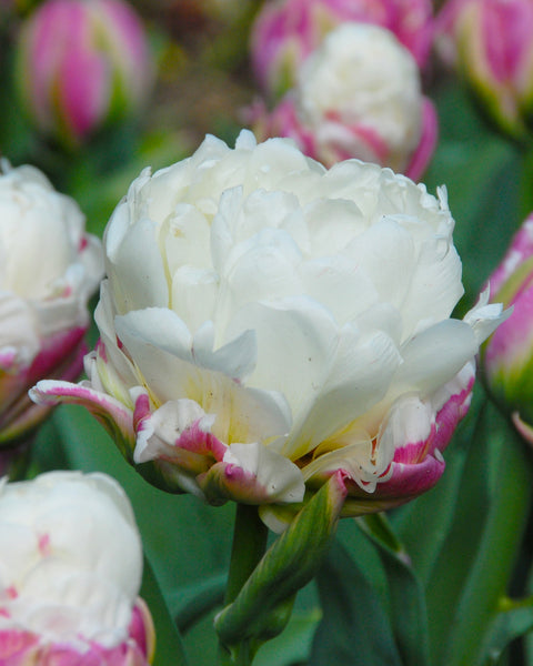 Flower BulbsIce Cream™ Bulbs UK - 1