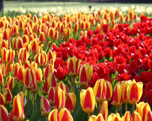 Tulip Collection Ketchup & Mustard