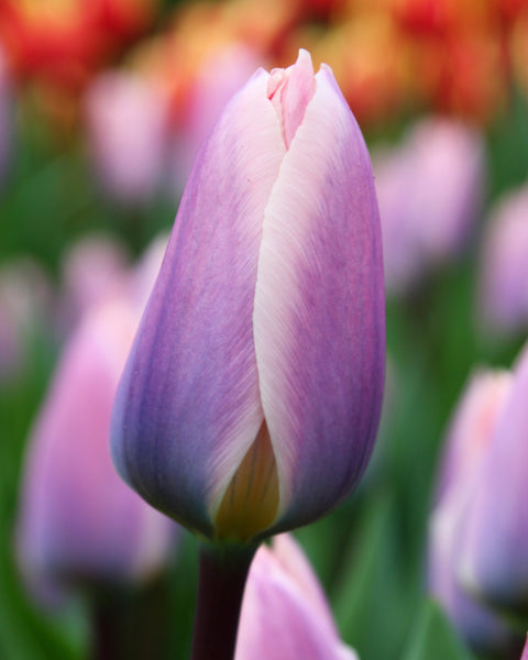 Tulip Light and Dreamy