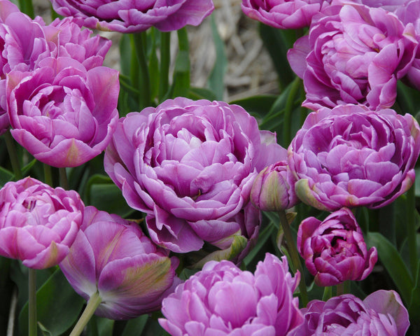 Flower BulbsLilac Perfection Bulbs UK - 2