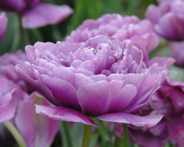Flower BulbsLilac Perfection Bulbs UK - 3