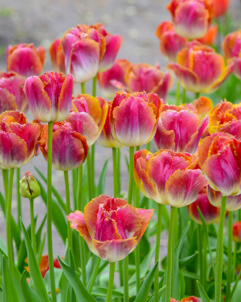 Flower BulbsMiami Sunset™ Bulbs UK - 1