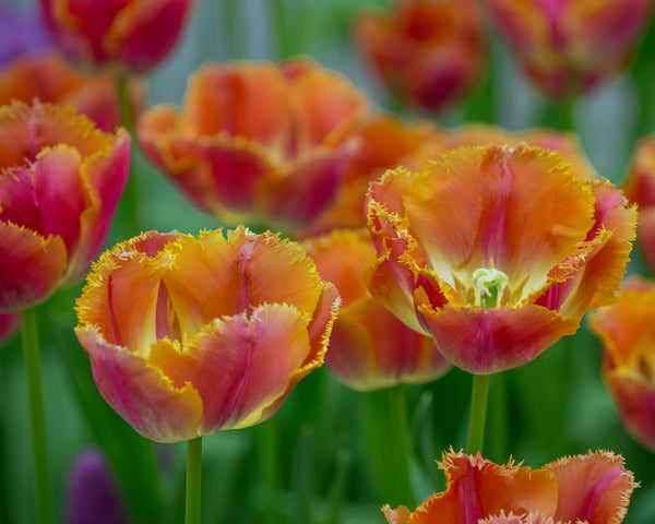 Flower BulbsMiami Sunset™ Bulbs UK - 3