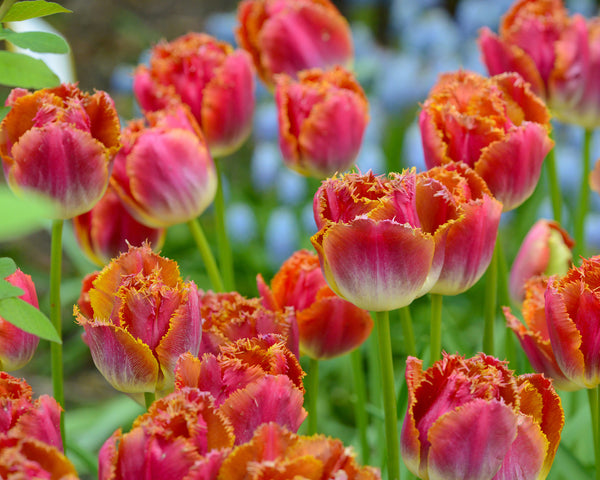 Flower BulbsMiami Sunset™ Bulbs UK - 2